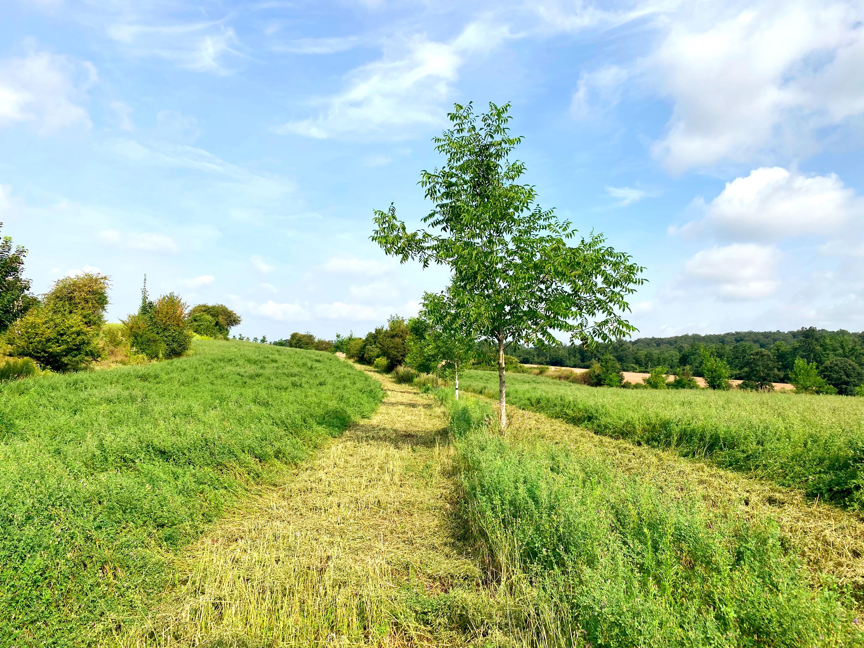 Walnuß Agroforstsystem mit Luzerne im Weinvietel