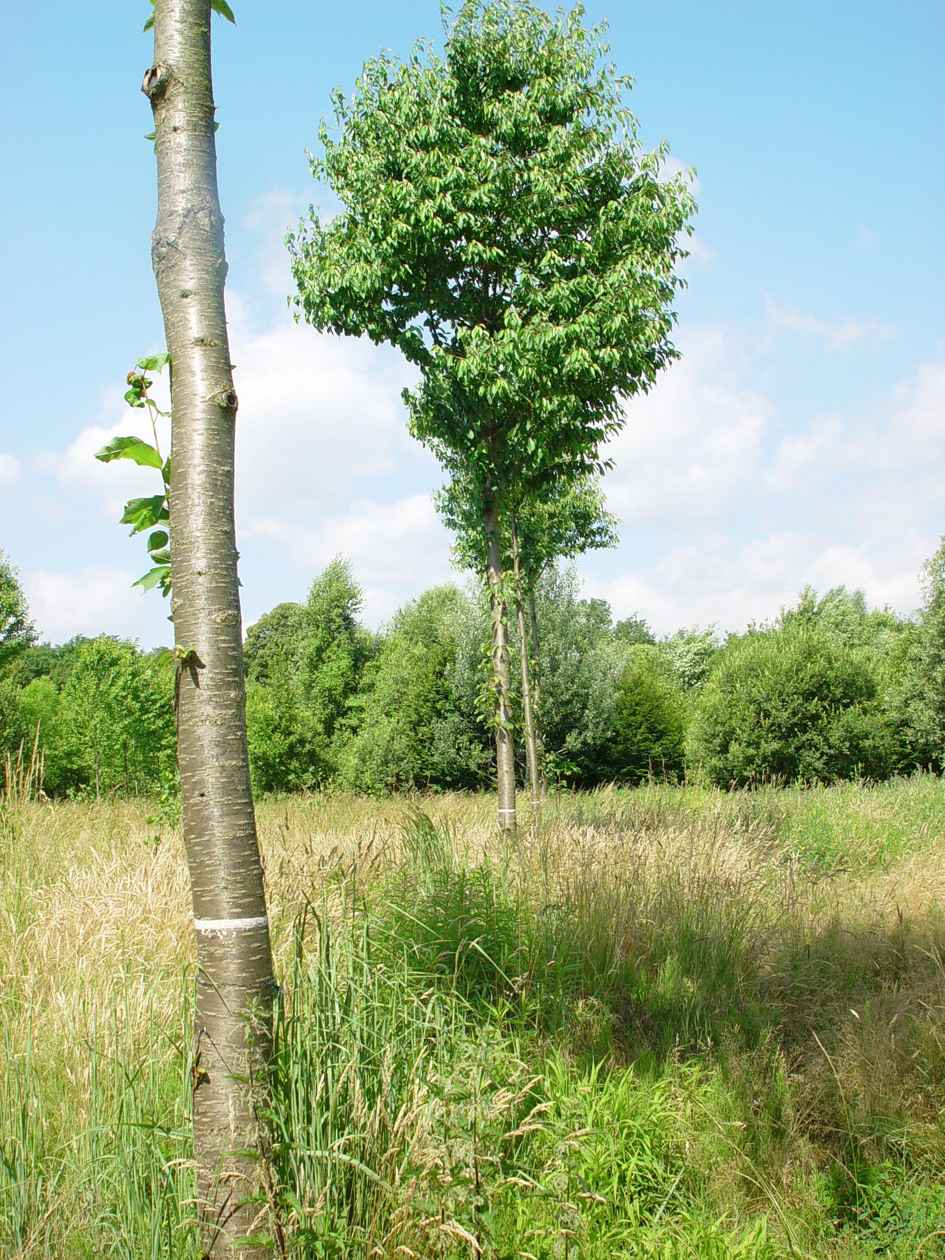 Die Vogel-Kirsche (Prunus avium)