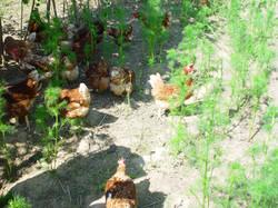 Nutztiere und Agroforst