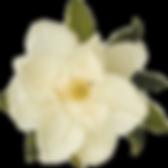 Magnolia Flower for Logo.png