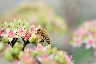 stonecrop-bee.jpg