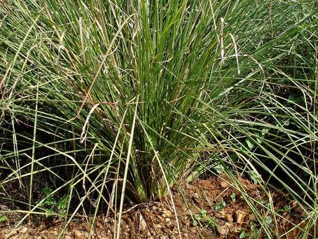 SACRED GRASSES KUSHA AND DURVA
