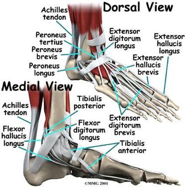 foot_anatomy_tendons
