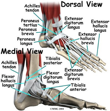 foot_anatomy_tendons