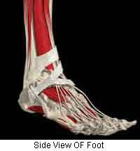 3D-Side-View-Of-Foot