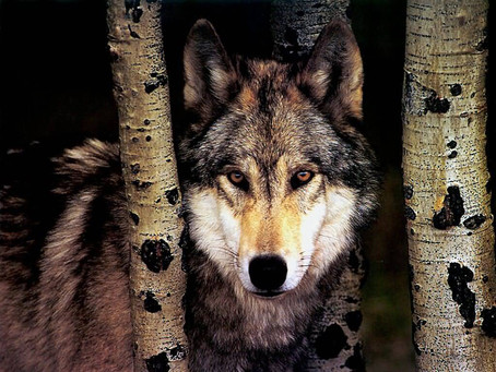 With Wolves, We Seldom Agree About Much