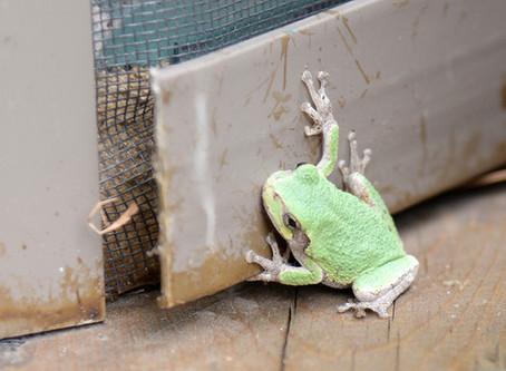 Eastern Gray Treefrogs: An Amphibious Chameleon