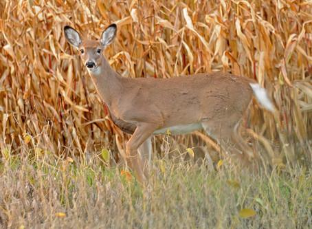 Deer Quota Snafu Spurs Formal Complaint to DA