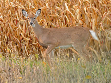 Deer Quota Snafu Spurs Formal Complaint to DA