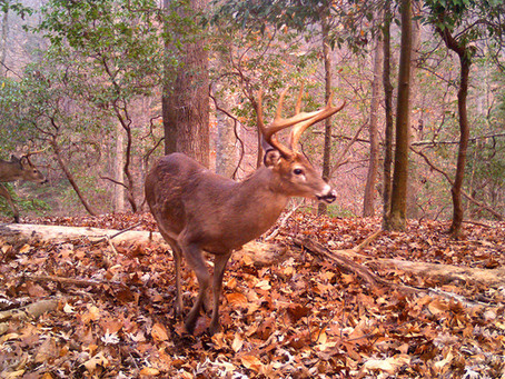 Wisconsin's Huge Deer Herd Won't Deliver Record Kill