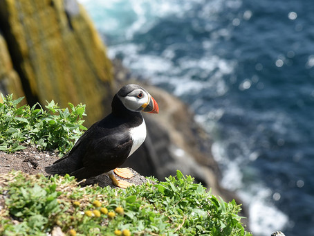 Puffins Charm Visitors to Ireland's Skellig Michael