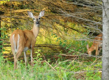 Board Restores DNR Deer Quotas in 4 Wisc. Counties