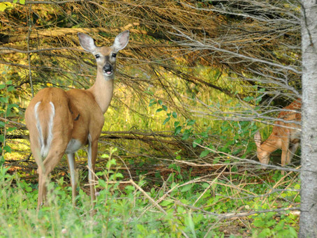 Board Restores DNR Deer Quotas in 4 Wisc. Counties