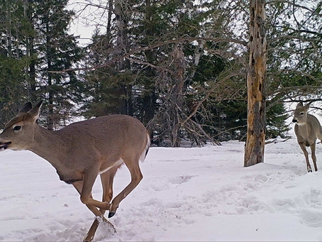 Former Members of Wis. DNR Board Blast Vote on Antlerless Deer Quotas