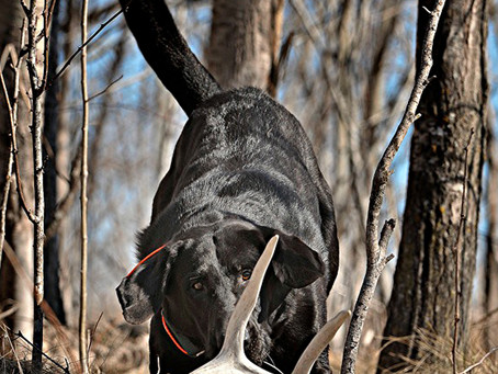 Bird Dogs Hunt Up Shed Antlers