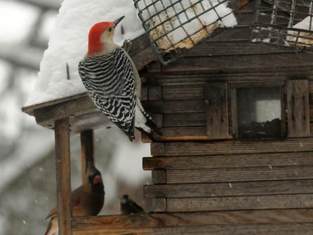 Birds Often Bully Each Other at Backyard Feeders
