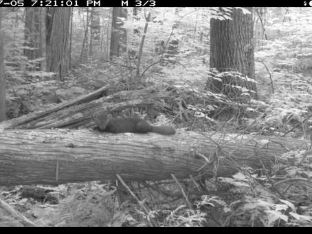 Trail-Camera Research Unlocks Carnivore Mysteries