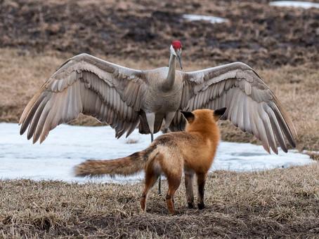 Red Fox Confronts Sandhill Crane