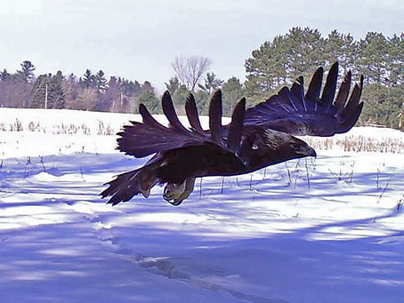 Wisconsin Attracts More Golden Eagles