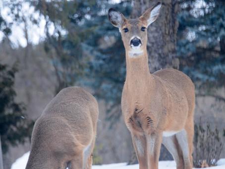 Wisconsin's Deer Advisory Committees Need Your Help