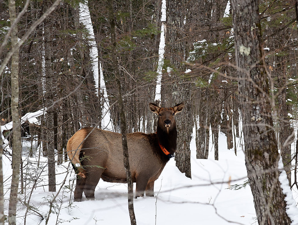 A cow elk wades through deep snow in the Nicolet-Chequamegon National Forest in eastern Bayfield County.  -- Patrick Durkin photo