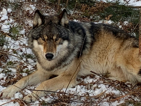 Wisconsin's Wolf Woes Pale Compared to Deer Dramas
