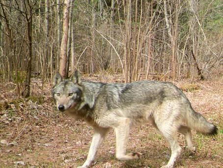 Wisconsin Board's Wolf Quota Puts Emotion Over Science