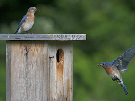 Bluebirds Thrive with Help from their Friends