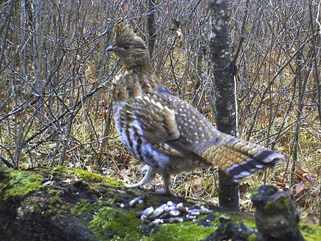 Push to Shorten Grouse Hunt Ignores Science