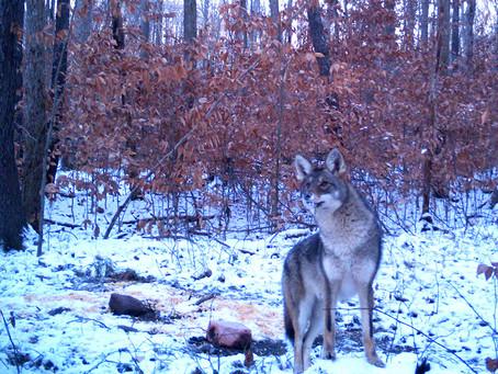 Coyote Contests Trigger Intriguing Debates
