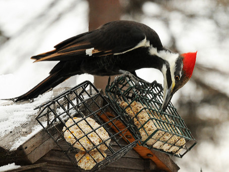 You'll Know it When Pileated Woodpeckers Come a Knockin'