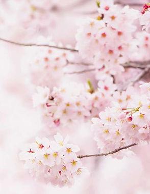 Pfingsten_Grafik Kirschblüte.jpg