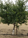 almond tree 15 month old with BG 04-12-1