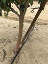 almond tree trunk without BG.JPG
