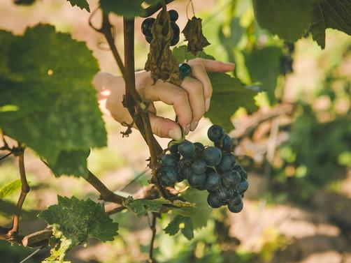 2020.gada septembrī Abavas saimniecībā noritēja ikgadējā vīnogu raža.