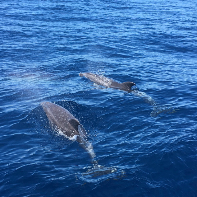 dolphin_watching_mallorca.jpg