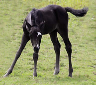 blackie colt cute7108.jpg