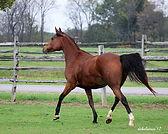 bay mare nice 5897.jpg