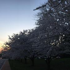 Sunset over sakura