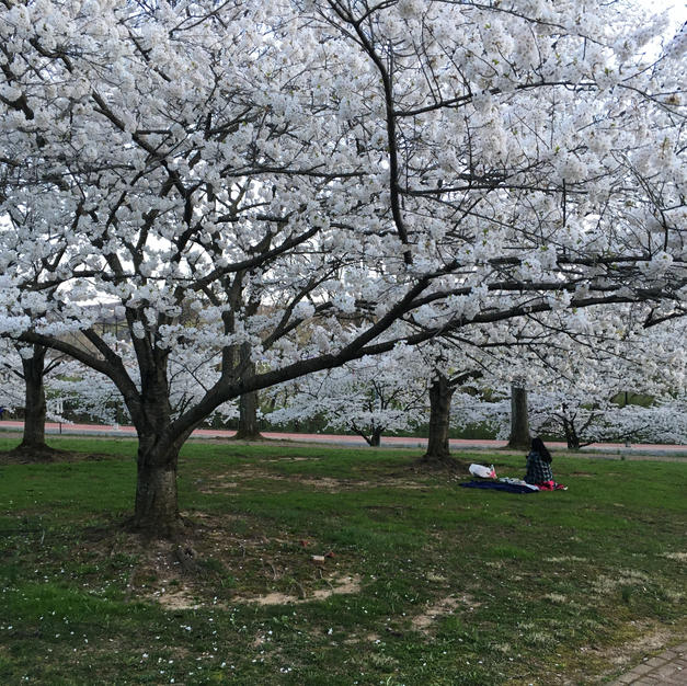 Picnicker under the blossoms