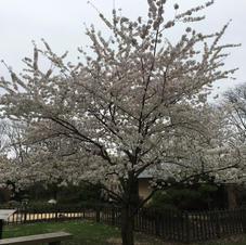 Garden Yoshino