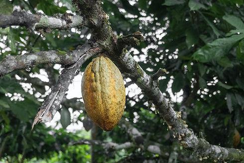 Ghana Cocoa Credit-Seyiram Kweku.jpg
