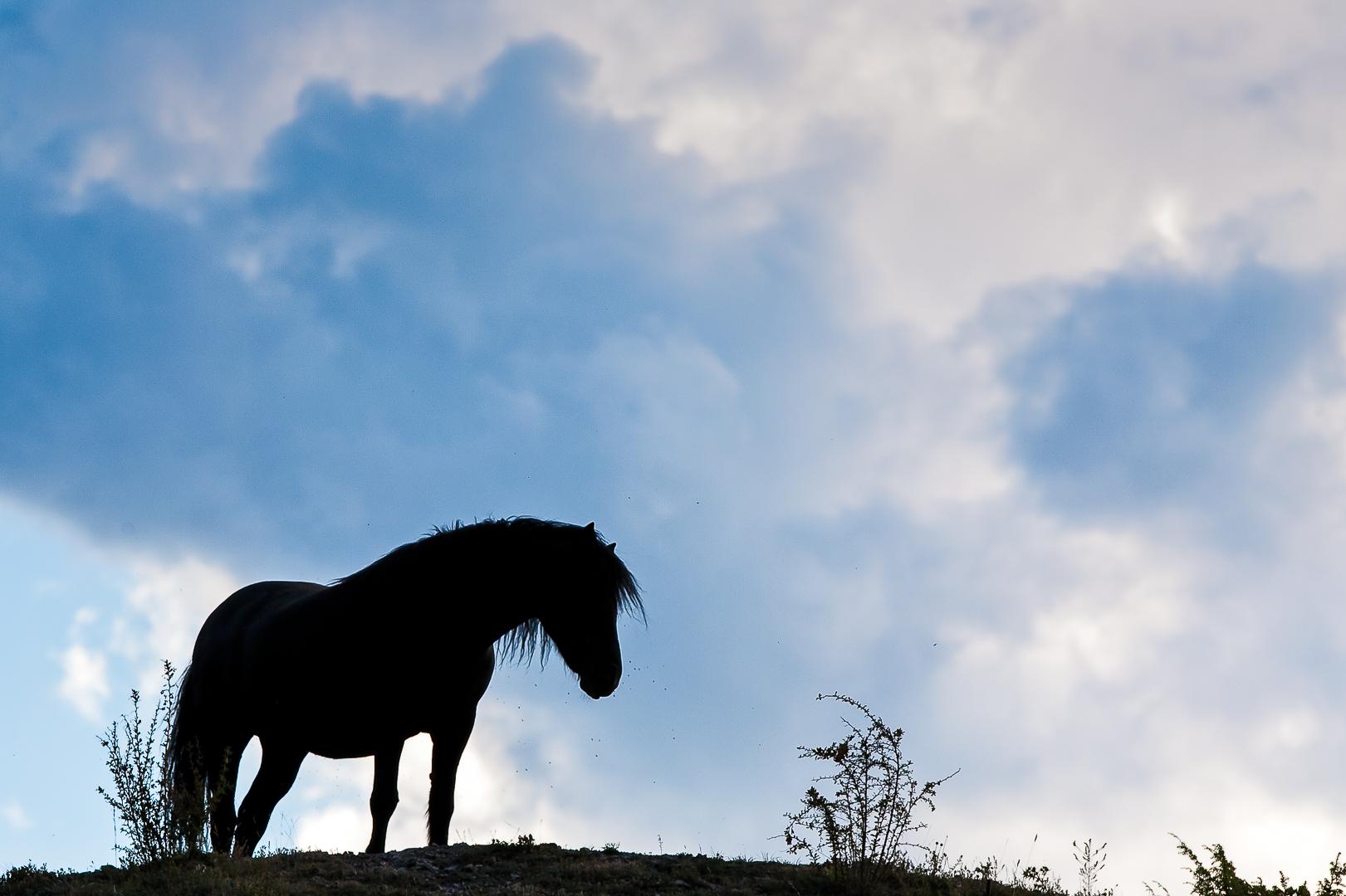 cheval de race Mérens (Eygliers)
