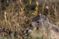 marmottes-8