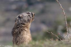 marmottes_2-4
