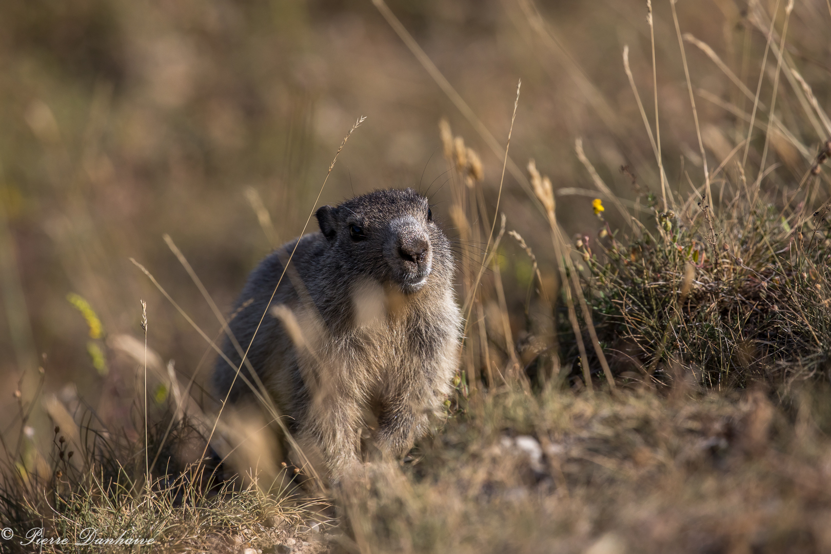 marmottes-11
