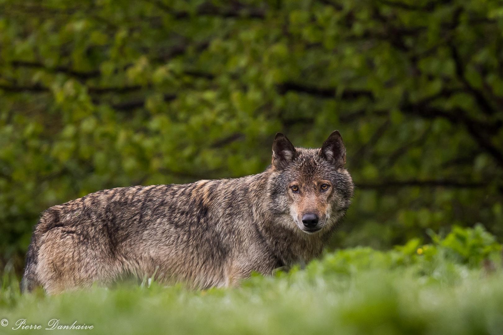 Loup retrav_-3
