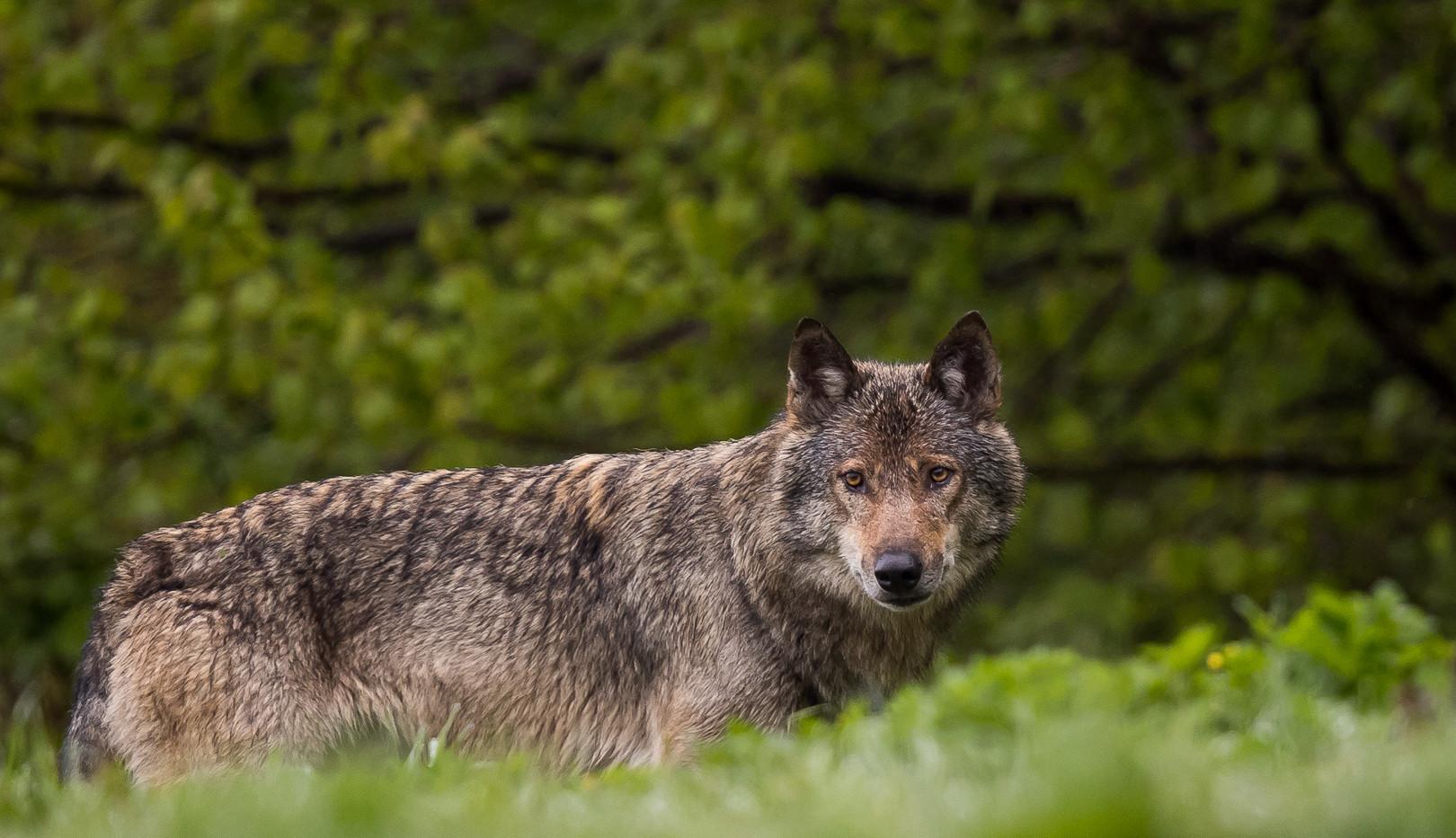 Loup retrav_-3.jpg