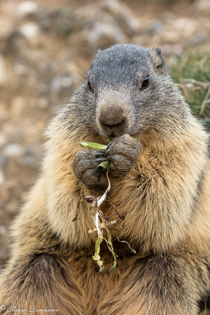 marmottes_2-12