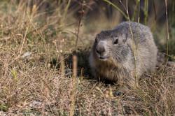 marmottes-7